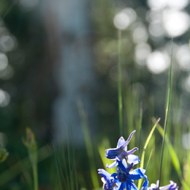 Wildflower in grass by Beverly Kilzer - Nature Up Close Leaves & Grasses ( blue, grass, green, wildflower, sparkle, light, flower )