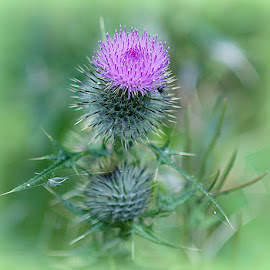 thistle by Caroline Beaumont - Flowers Single Flower ( thistle, wildflower, weed, spiky, flower )