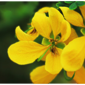 SOnalu by Shakhawat Hossain - Nature Up Close Flowers - 2011-2013
