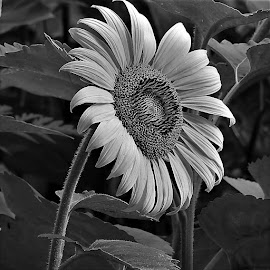 Sunflower in black and white by Mary Gallo - Black & White Flowers & Plants ( nature, nature up close, garden flower, black and white, sunflower, flower,  )
