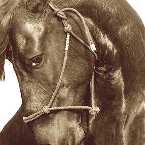 MODESTY by Debby  Raskin - Animals Horses