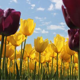Skagit Valley Tulips by Tara Bauman - Flowers Flower Gardens (  )