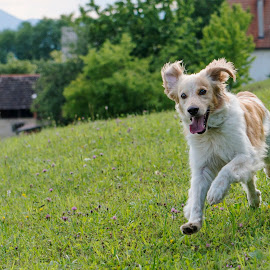 Hiro by Dubravka Krickic - Animals - Dogs Running ( playing, happy, action, cute, dog, running, animal )