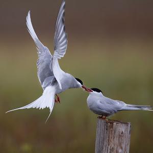 Arctic Tern2.jpg