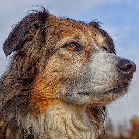 Sage in Thought by Twin Wranglers Baker - Animals - Dogs Portraits