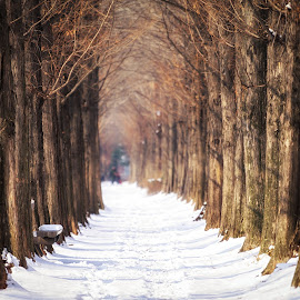 winter metasequoia road by Aaron Choi - City,  Street & Park  City Parks ( bench, haneul, haneel park, mapogu, beauty, road, travel, landscape, capital, city, asian, tree, nature, trail, snow, asia, path, metasequoia, trails, district, korea, snow covered, peaceful, park, pathway, sequoia, tourism, scenic, row, korean, rows, destination, haneel, mapo, landmark, winter, seoul, scene, trees, view, scenery, haneul park )