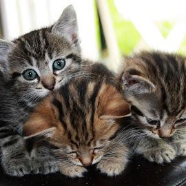 Chatons  ...le retour by Renaud Louis - Animals - Cats Portraits ( cats redinard pixoto cute )