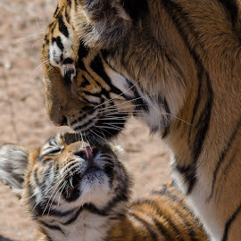 Bengal tiger and her cube  by Lisa Richardson - Animals Lions, Tigers & Big Cats ( big cats, animals, nature, tigers )