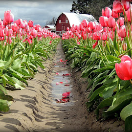 Tulip field by Melissa Fulmer - Flowers Flower Gardens