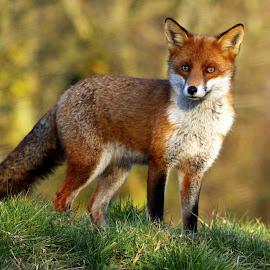 Red fox by John Davies - Animals Other Mammals ( fox, john davies, animal, red fox )