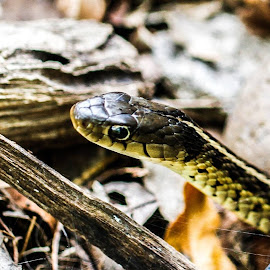 by Forrest Covin - Animals Reptiles