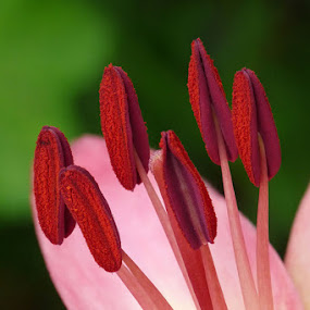 Pink Lily Close-up by Josh Mayes - Nature Up Close Flowers - 2011-2013 ( detail, red, lily, stamen, pink, beauty, close-up )
