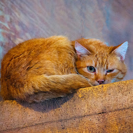 Barn Cat by Warren Osmond - Animals - Cats Portraits ( orange, kitten, cat, barn, fur )