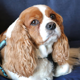 Toby by Dana Wigton - Animals - Dogs Portraits ( cocker spaniel )
