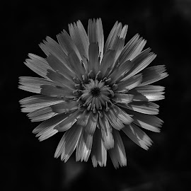 Black & White Flower 2016 by Matthew Beziat - Black & White Flowers & Plants ( black & white photography, north glen park, macro photography, black & white, glen burnie, american wildflowers, black & white flowers, black & white macro, glen burnie maryland, macro, anne arundel county, maryland, macro flowers, maryland wildflowers )