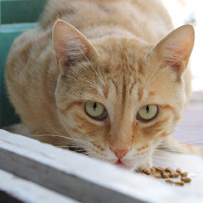 Hungry Look by Pantelis Orfanos - Animals - Cats Portraits ( look, orange cat, orange beauty, hungry )