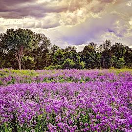 a Field of Dames Rocket by Derrill Grabenstein - Landscapes Prairies, Meadows & Fields