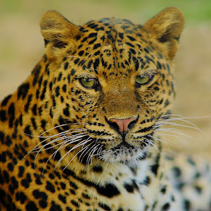 Sri Lanka Leopard.jpg