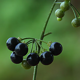 by Carmen Quesada - Nature Up Close Other plants ( nightshade plant, green, nature up close, black, berries )