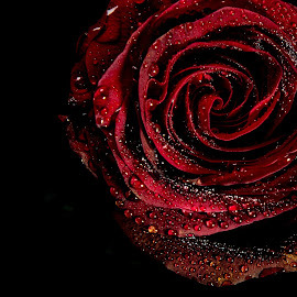 Deep rose by Danny Charge - Flowers Single Flower ( red, waterdrop, rosebud, black, single flower, rose, water, flower, water drops )