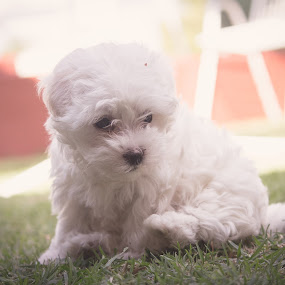 Tinkie the poodle by Nardus Taljard - Animals - Dogs Puppies ( dogs, poodle, puppy, fluffy dog, dog )