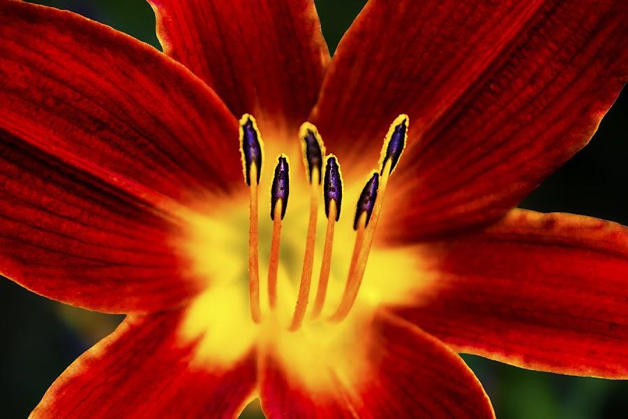 Desire by Rachelle Crockett - Nature Up Close Flowers - 2011-2013 ( red, park, vibrant, yellow, pistols, garden, flower, close-up, petal )
