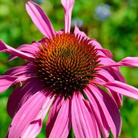 Cone Flower by Victor Eliu - Flowers Single Flower ( echinacea, plant, cone flower, single, flower,  )