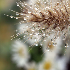 Drops by Christine Weaver-Cimala - Nature Up Close Flowers - 2011-2013 ( liquid, drop, weed, wet, flower,  )