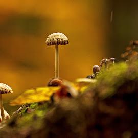 On the podium. by Miguel Silva - Nature Up Close Mushrooms & Fungi ( autumn, miguel silva, moss, nature up close, forest, viseu, portugal, fontelo, leaves, mushrooms )