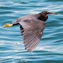 Pacific Reef Egret