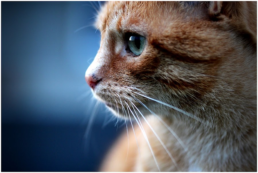 _Leo_ by Rena Sap - Animals - Cats Portraits ( cat, red, tomcat, blue, cutest cats,  )