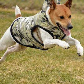by Claudia Birkland - Animals - Dogs Running
