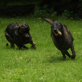rasco and tessa by Kim Mesorten - Animals - Dogs Running ( dogs, running )