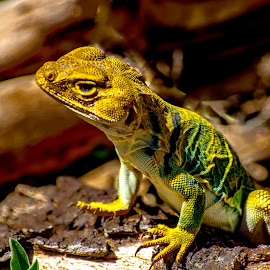 by Curtis Forrester - Animals Reptiles ( lizard, in the wild, arizona, reptile, animal )