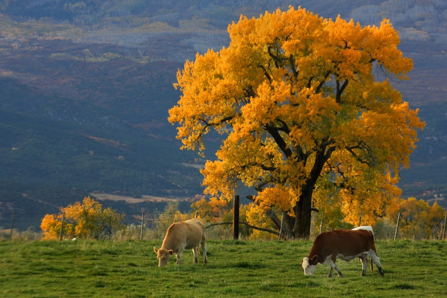 Cottenwood with Friends by David Short - Landscapes Prairies, Meadows & Fields ( grand mesa, fall, colorado, cows, cottenwood )
