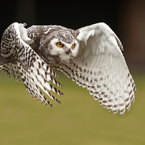 White Owl In Flight by Dan Girard - Animals Birds
