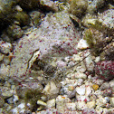 Caribbean Spiny Lobster (juvenile)