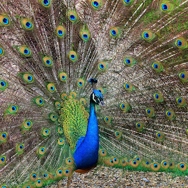 Peacock in Full Bloom by Mike Vaughn - Animals Birds ( bird, colorful, peacock,  )