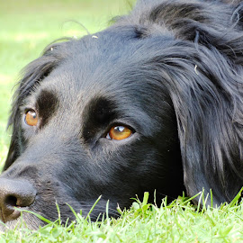 Donal by Heather Clark - Animals - Dogs Portraits ( collie, stare, portrait, black,  )