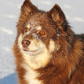 Veera the ice princess by Mia Ikonen - Animals - Dogs Portraits ( loyal, finnish lapphund, beautiful, finland, expressive )
