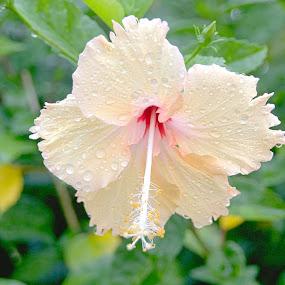 Hibiscus Flower by Trevor Smart - Flowers Single Flower ( home, hibiscus, australia, yellow, garden,  )