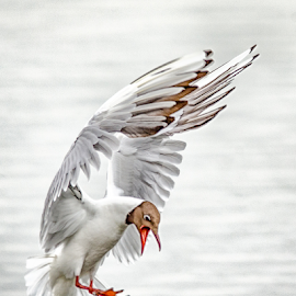 Attacking Tern by Jon Starling - Animals Birds