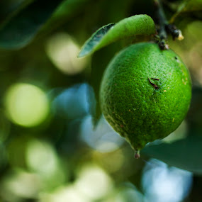 Lemon tree by Cristobal Garciaferro Rubio - Digital Art Things ( fruit, green, leaf, leaves, bokeh, lemon )