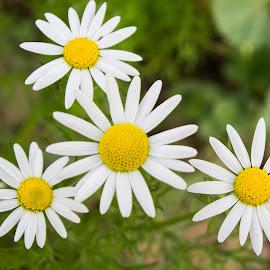 daisy flowers by Cràzzy Giirl - Uncategorized All Uncategorized ( plant, macro, daisy, flowers, floral )