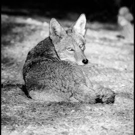 Backyard Coyote by Dave Lipchen - Black & White Animals ( coyote )