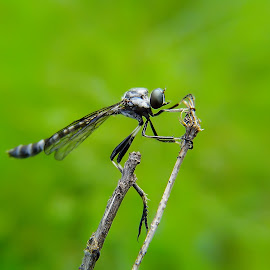 tiny robber fly by Hendrata Yoga Surya - Instagram & Mobile Android ( robber, robber fly, robberfly )