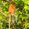 Proboscis monkey (juvenile)