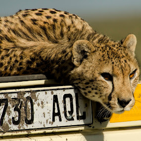 Something has his attention by Gene Myers - Animals Lions, Tigers & Big Cats ( shotbygene, cheetah, staring, license plate, nature, truck, color photo, wildlife, tanzania, africa, gene myers,  )