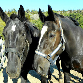 Black Beauties by Sandy Davis DePina - Animals Horses