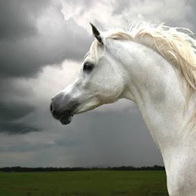 Araba by Debby  Raskin - Animals Horses ( equine, mane, horse, white, arabian, head )
